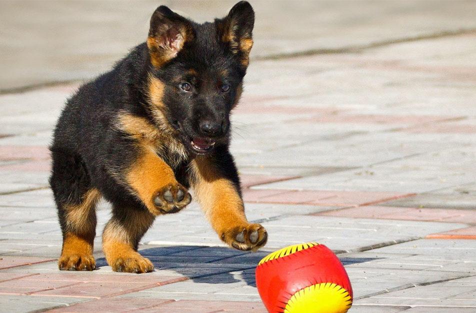 Преимущества дрессировки щенков в Одессе - Кинолог