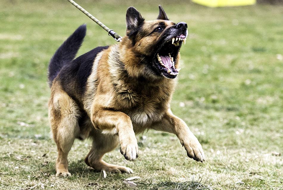 Собаки агрессинвые животные?